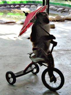 Een fietsend aapje bij de monkey school
