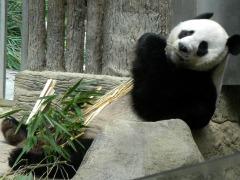 Eén van de panda's in de dierentuin van Chiang Mai