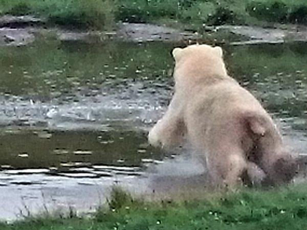 IJsbeer in het Scandinavisk Dyrepark