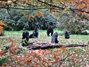 Gorillas in Apenheul
