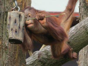 Een Orang Oetan snoept van de honing in Apenheul