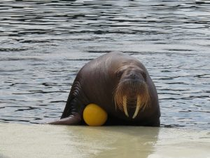 Deze walrus wil spelen