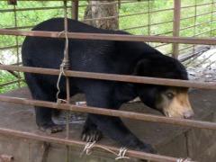 De gekooide beer op Donsao eiland