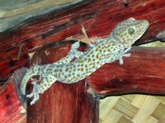 Een gecko in het restaurant van Amber Sands