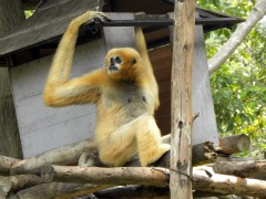 Witte gibbon in Chiang Mai zoo