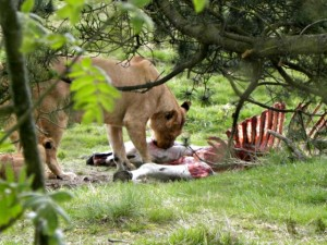 Leeuwin eet zebra in Givskud