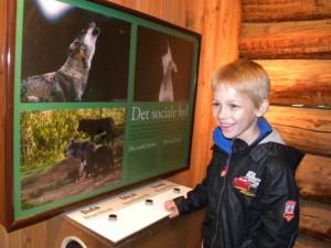 Wolven laten huilen: interactieve display in Givskud