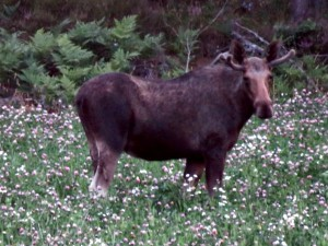Jawel, we hebben een eland gespot!