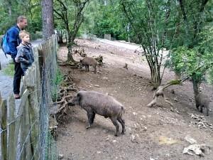 Everzwijnen bij het Wildpark van Domein van Han