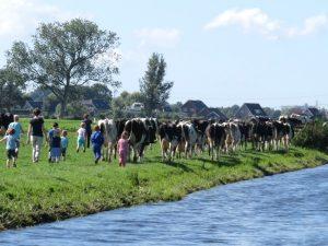 Met zijn allen de koeien ophalen uit de wei