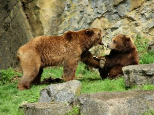 Beren in het Wildpark van Han
