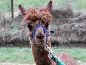 close-up van de alpaca