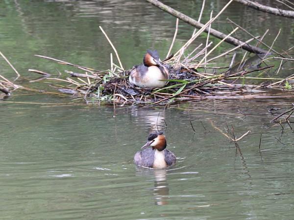 Vogels aan het broeden in de Biesbosch