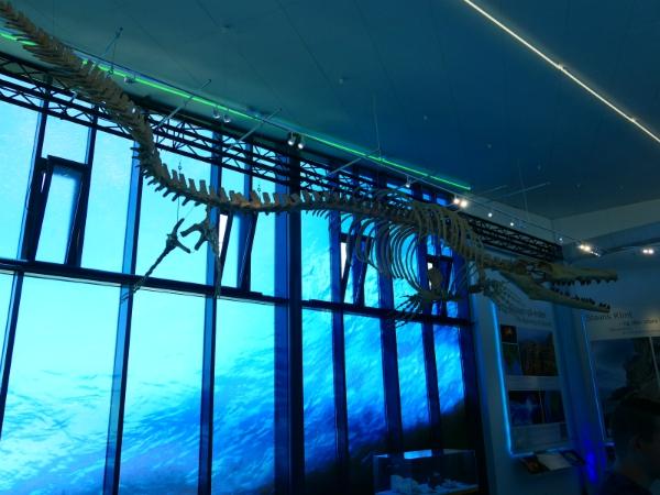 Het skelet van een Mosasaurus