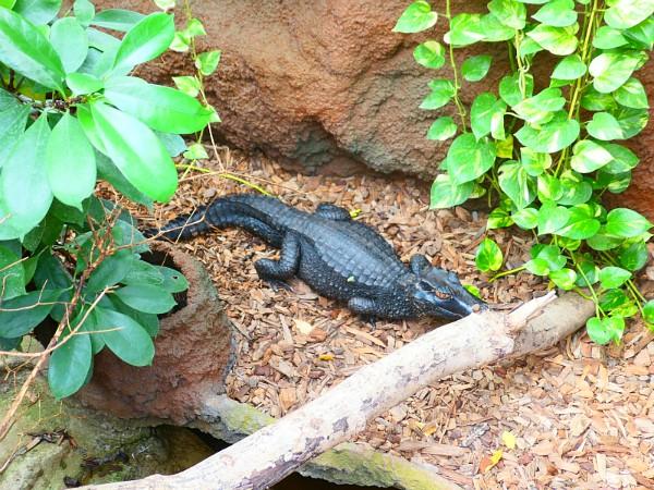 Krokodil in de Krokodille zoo