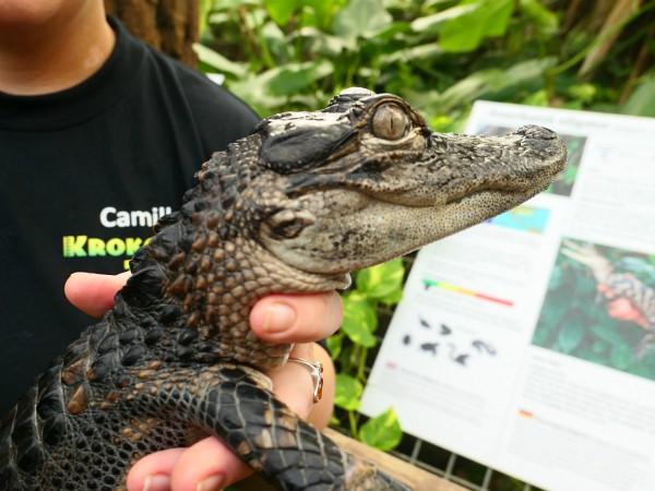 Krokodil in de handen van een verzorger