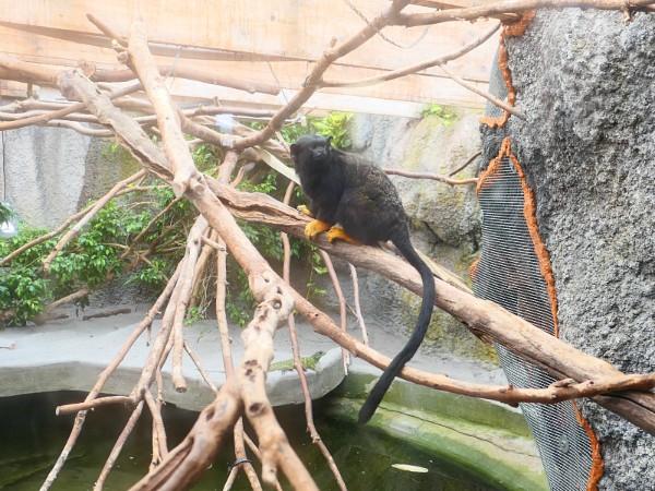 Zwart aapje in bruine voetjes