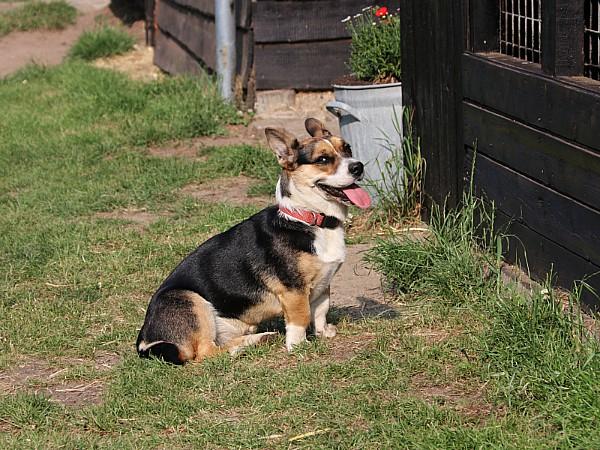 De geweldige boerderijhond Wammes van Boerenbed De Lange Weide!