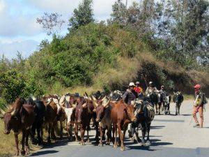 We komen verschillende kuddes zeboe tegen op weg naar Ambalavao