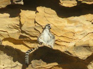 Een ringstaartmaki zit te zonnen tegen de rotsen in Isalo