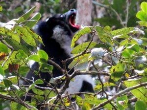 Een Indri Indri luidt het luchtalarm