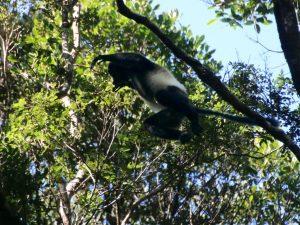 Een springende Milne Edwards Sifaka